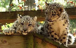 zoo leopards